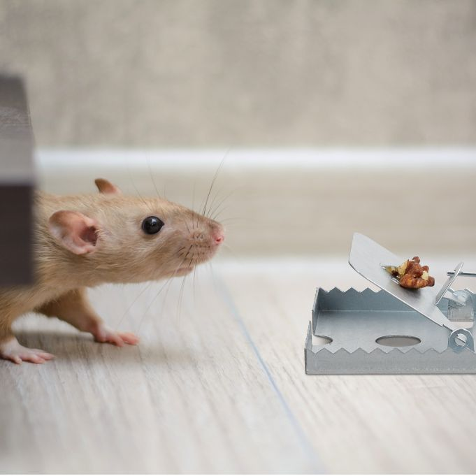 Rat Trap Pack of 42